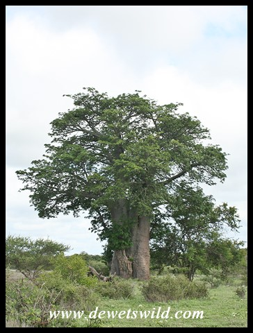 Baobab at Timbavati in the Kruger Park