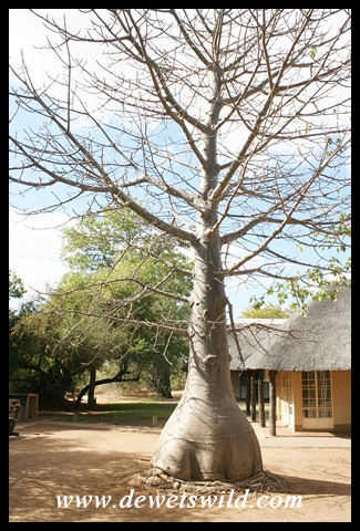 Small Baobab next to Rentmeester Guest House in Shingwedzi