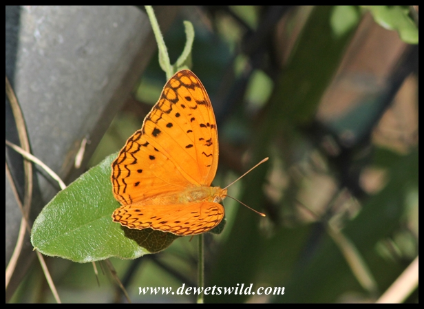 Wildlife encounter on the Rhino Trail - African Leopard Butterfly