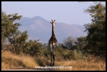 Giraffe and Berg-en-Dal scenery