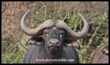 Young buffalo bull