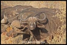 Buffalo herd