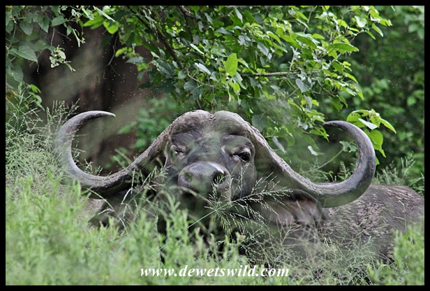 You wouldn't want to find yourself on foot in thick vegetation like this when buffalo are around...