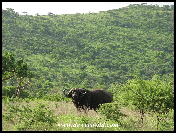 Buffalo bull in typical habitat
