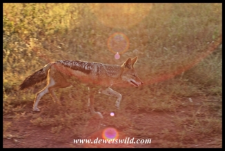 Black-backed jackal are frequently seen near Orpen, Maroela and Tamboti