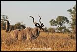 Kudu bull near Rabelais