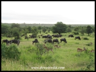 Herds of wildebeest abound near Orpen