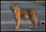 Lion are often encountered on the tar road to Satara