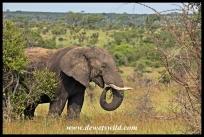 Elephant feeding near Bobbejaankrans