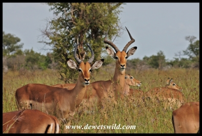 Impala are a guaranteed sighting on the road to Rabelais Pan