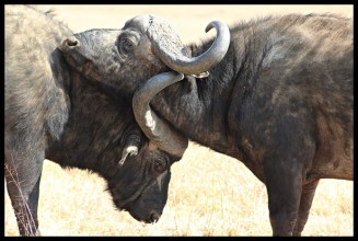 Sparring Buffalo bulls