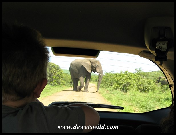 My photo, of Joubert eyeing the elephant through the back window of our vehicle