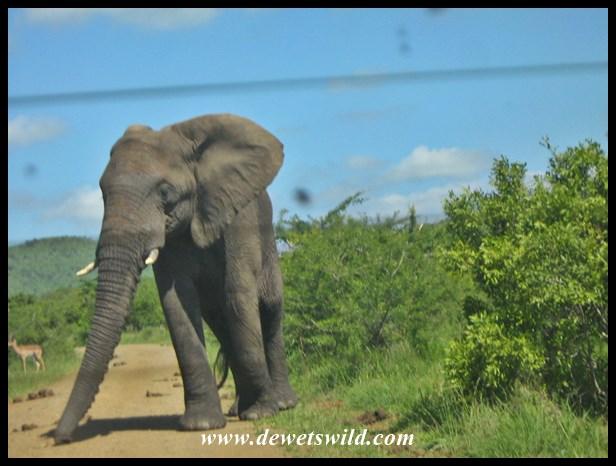 Joubert's photo of the same elephant :-)