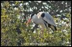 Grey heron at Lake Panic