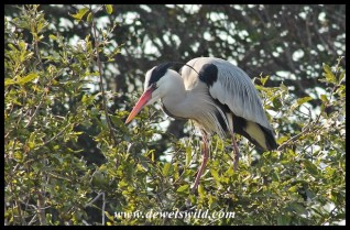Grey heron at Lake Panic