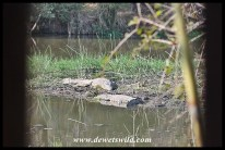 Crocodiles at Lake Panic