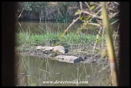 Crocodiles at Lake Panic