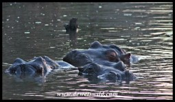 Hippos at Lake Panic
