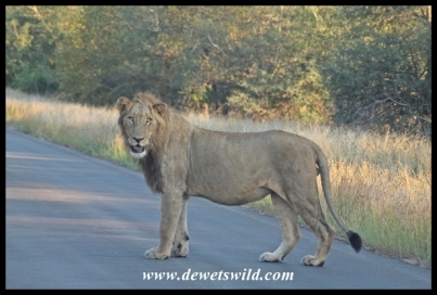 Lion, Kruger National Park