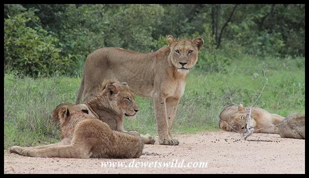 Lion, Kruger National Park