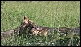 Lion, Hluhluwe-Imfolozi