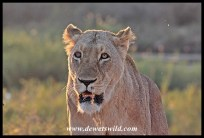 The first lioness to cross - notice she's blind in her right eye