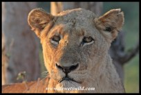 Second lioness to appear