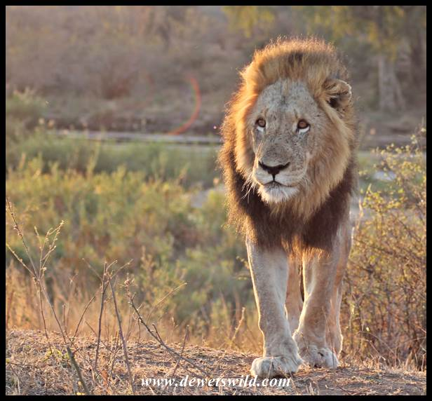 Lion Sighting 03Aug2014