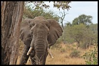 Elephant bull in relaxed mood