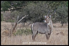 Waterbuck on the S100