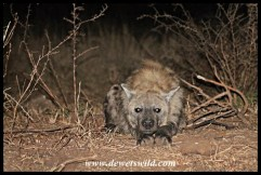 """Our pet"" hyena :-)"