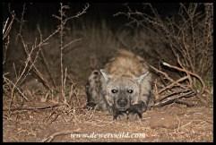 """""""Our pet"""" hyena :-)"""