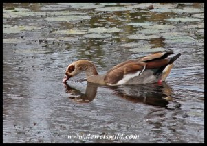 Egyptian Goose at Sweni Hide