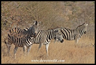 Plains zebra on the Trichardt Road