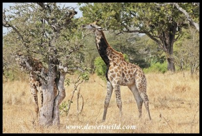 We saw the black-necked giraffe again, about 3km away from where it was the previous day