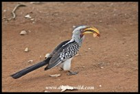 Yellow-billed hornbill at Tshokwane Picnic Spot