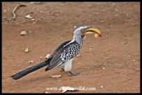 Yellow-billed hornbill at Tshokwane Picnic Spot