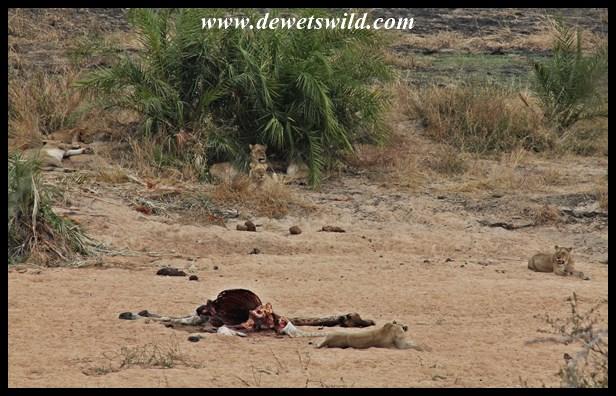 The lions were still feeding on their giraffe the next day