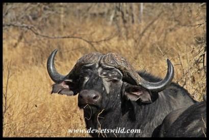 Much more handsome buffalo specimen