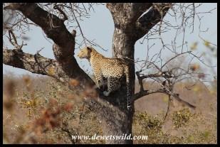 Leopard in tree, at Ximangwaneni Dam