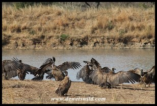 Vultures at Ximangwaneni Dam