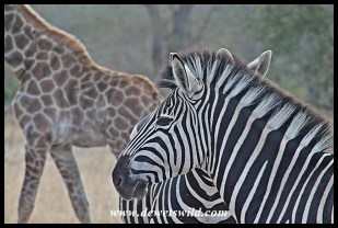 Zebra at Muzandzeni Picnic Spot
