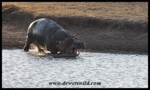 Hippo antics at Nsemani Dam