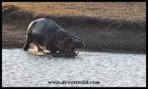 Hippo antics at Nsemani Dam