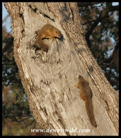 Tree squirrels squabbling next to the Timbavati
