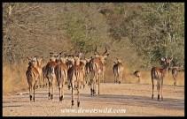 Impala; Kruger's McDonalds