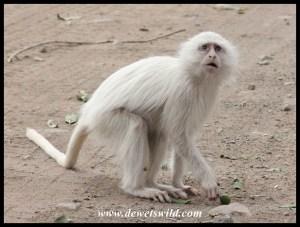 Timbavati's white vervet monkey