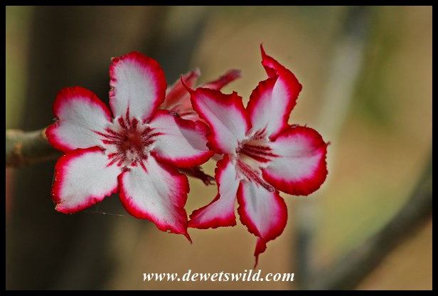 Beautiful impala lily flowers