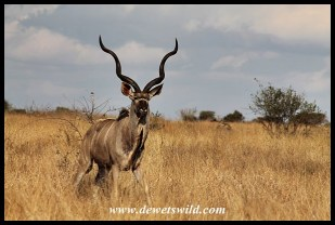 Magnificent Kudu seen near Mavumbye