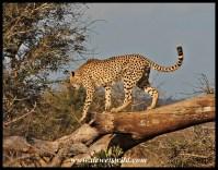 Cheetah on the lookout, Gudzani Road